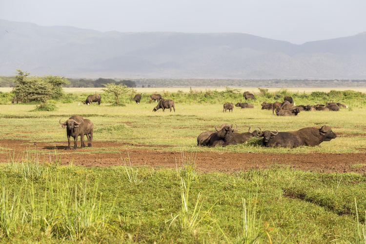 safari lac manyara tanzanie