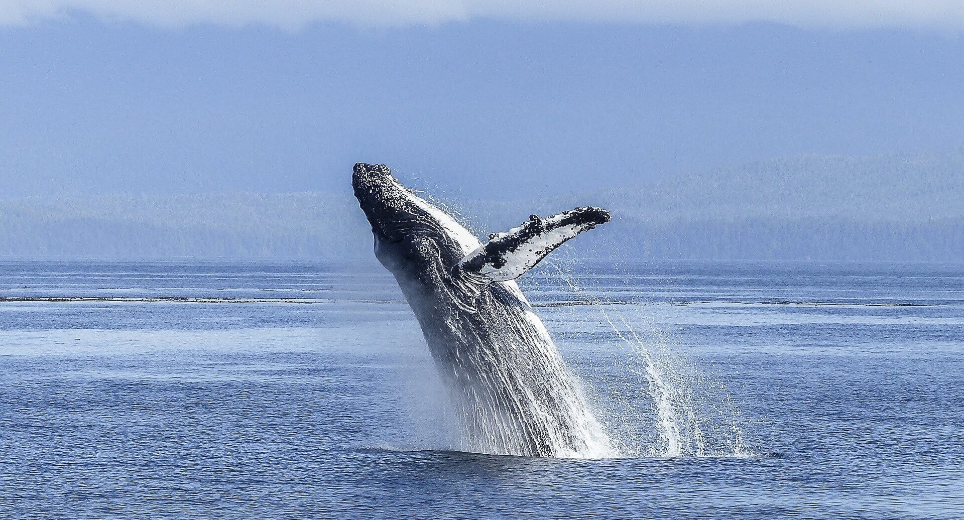 quand partir en polynésie pour voir des baleines