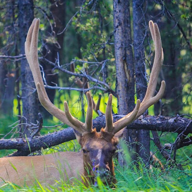 découvrir les animaux à yellowstone aux USA