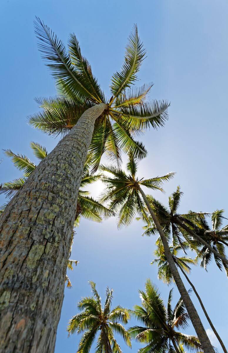 cocotier motu céran