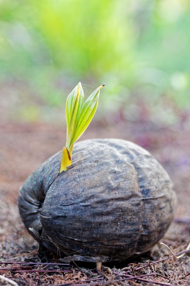 new coconut on raiatea