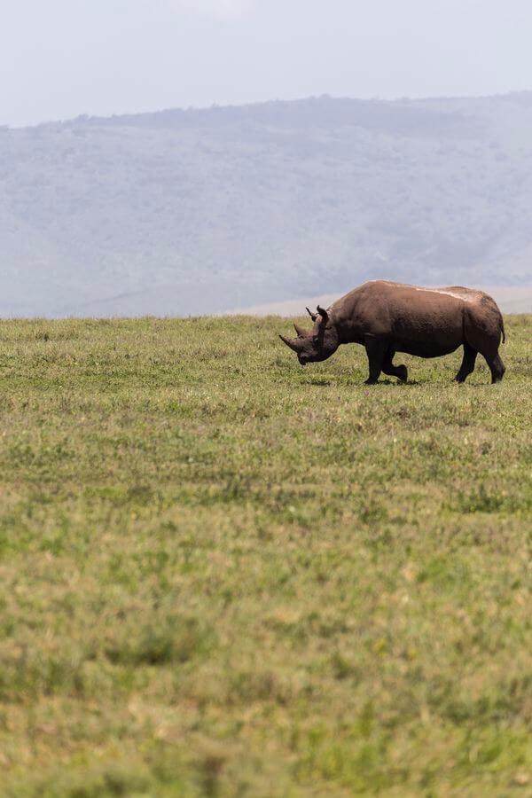 rhinoceros and safari