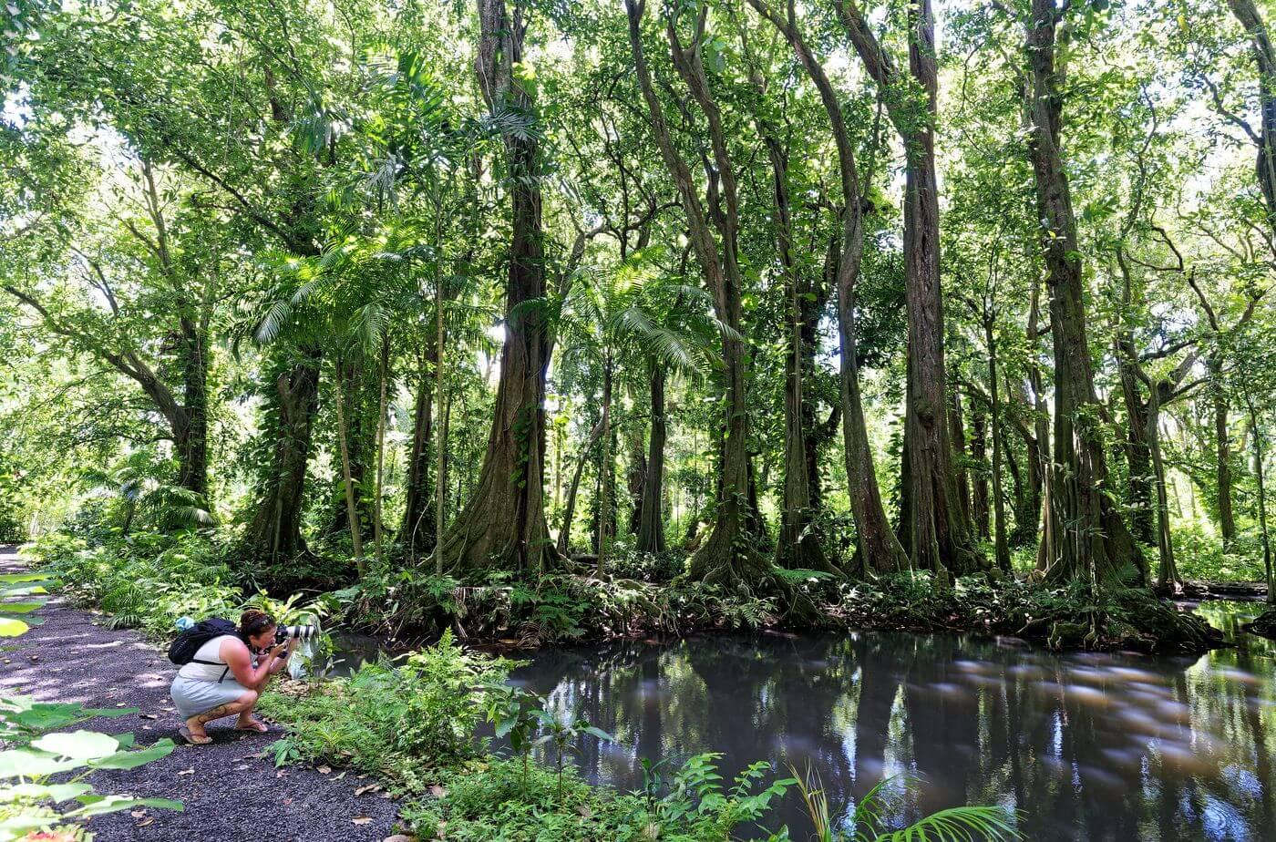 Forêt de mape produit du Fenua