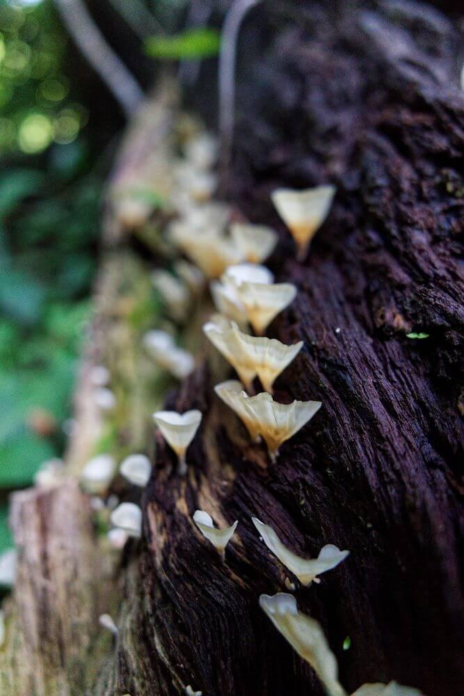 champignon guadeloupe
